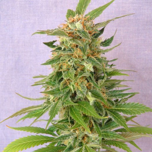 Ginger Punch Auto Cannabis Seeds
