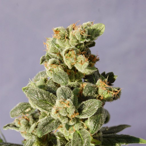Packs of Gnomo Auto for sale online