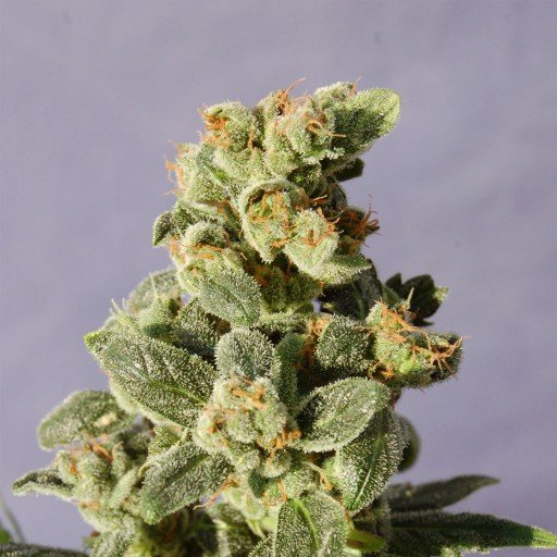 Packs of Gnomo Auto Cannabis Seeds Research Chemical
