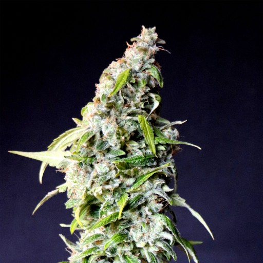 Packs of Speedy Boom Auto for sale online