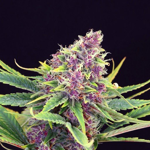 Packs of Purple Kush Cannabis Seeds Research Chemical