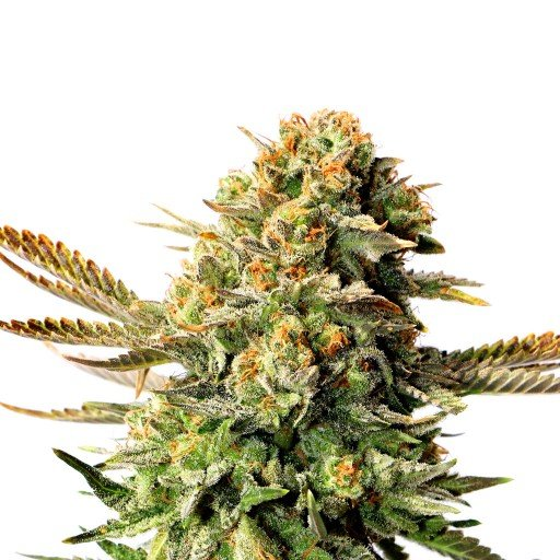 Packs of Russian Doll Cannabis Seeds Research Chemical