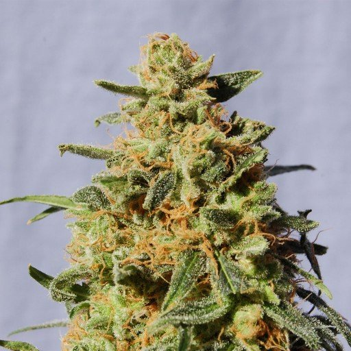Packs of White Domina Cannabis Seeds Research Chemical